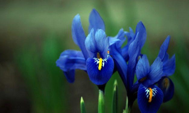 Львів'ян кличуть до Ботанічного саду подивитися на кольорові іриси