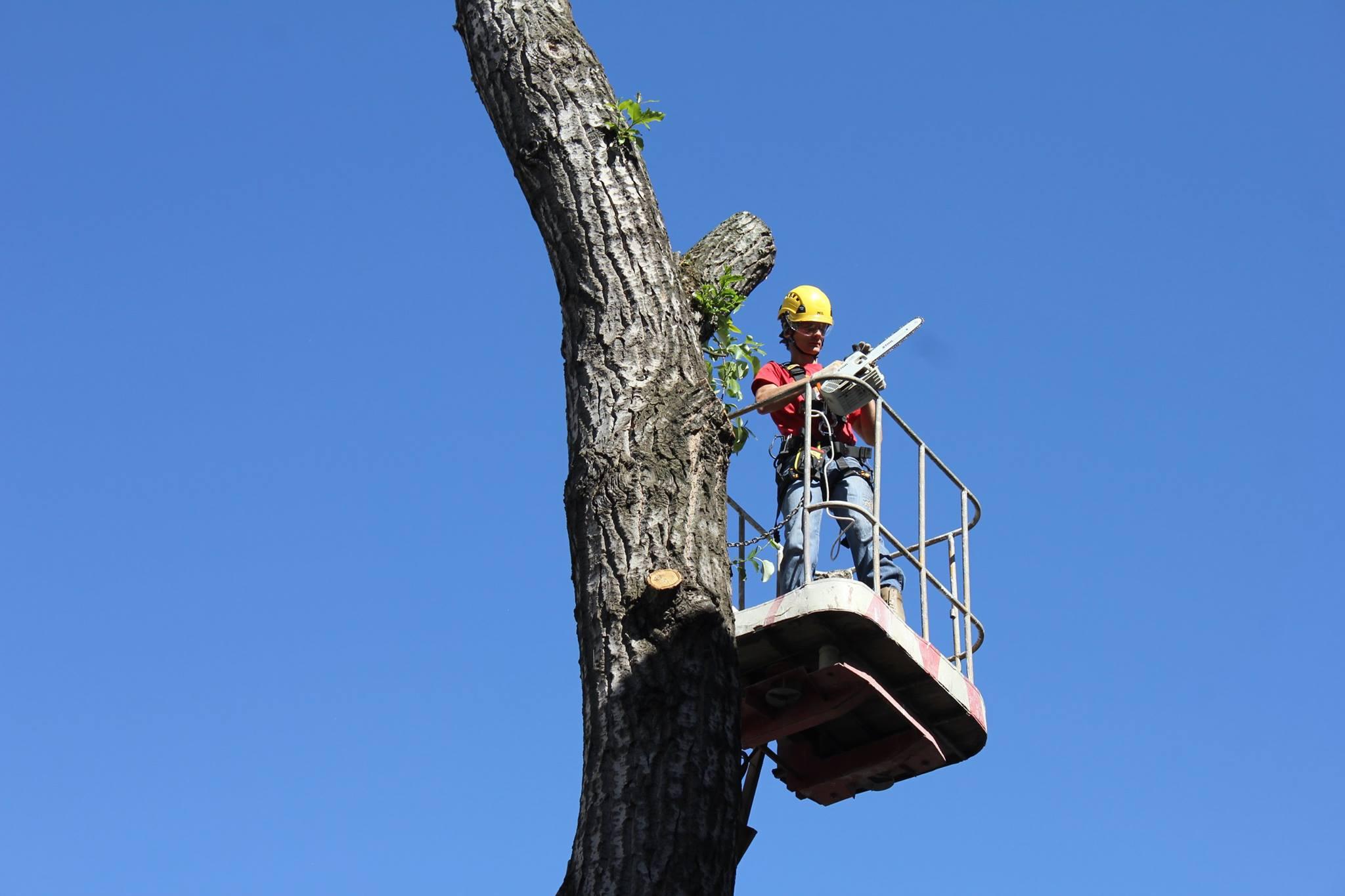 Петиція проти обрізки дерев у Львові за день набрала потрібну кількість голосів
