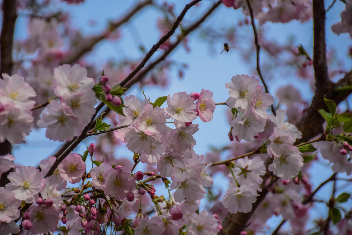 Через вкрадені сакури Парк культури припиняє програму «Подаруй парку дерево»