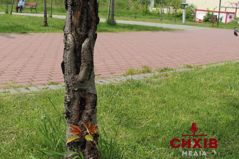 Частина сакур у сквері ім.Івана Павла ІІ пошкоджені та мертві