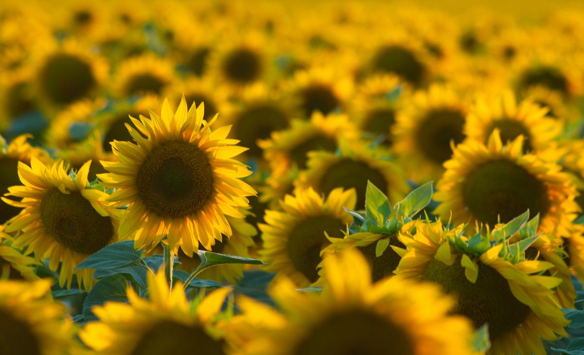 Кабмін визначив соняшник символом Дня пам'яті захисників України